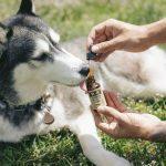 CBD : une efficacité prouvée sur les animaux domestiques ?