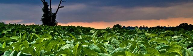 Tabac 100% bio